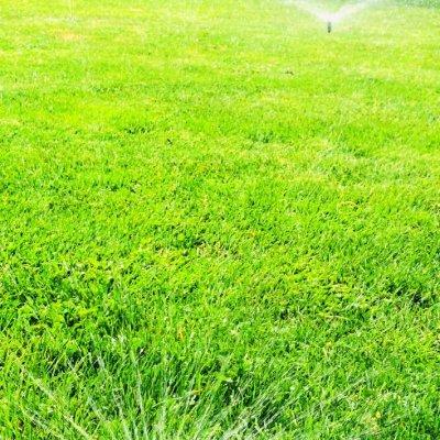 Stále zelený trávník
